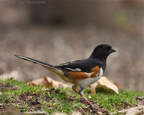 Eastern Towhee on the ground