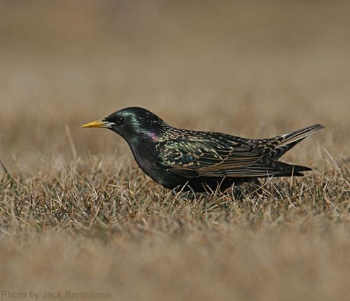 European Starling in short grass showing iridescent colors
