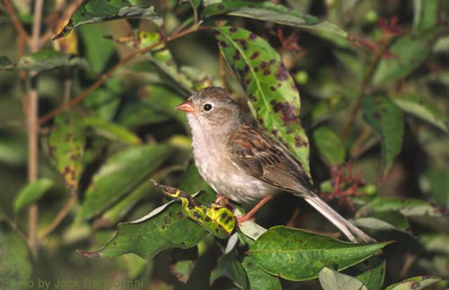 Field Sparrow in the brush