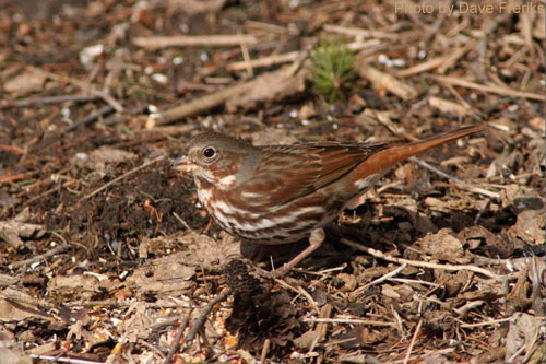 Fox Sparrow searching in the leaf litter