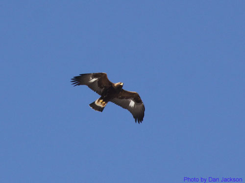 Adult Golden eagle soaring