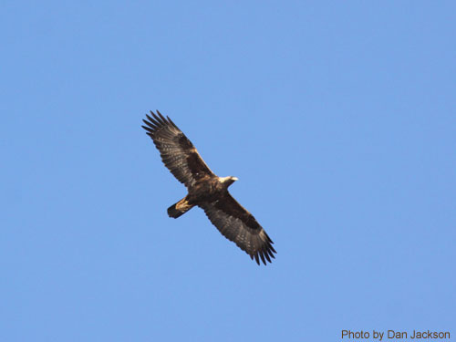 Juvenile Golden Eagle soaring