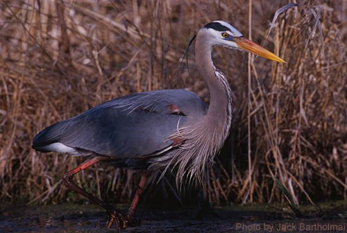 Great Blue Heron wading among the wetland vegetation