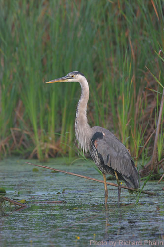 Great Blue Heron among the grasses