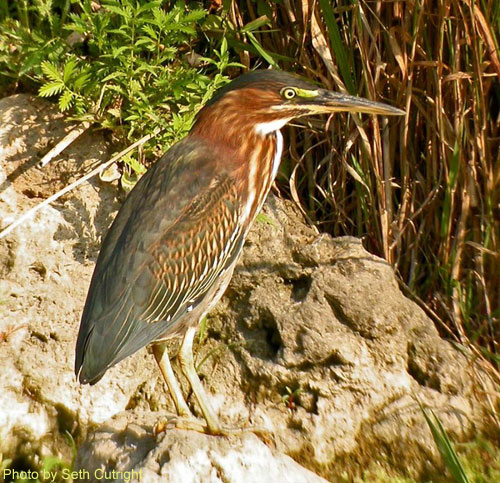 Green Heron standing near the water edge