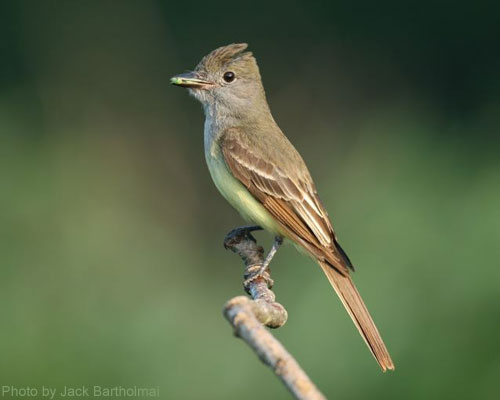 Great Crested Flycatcher watching for a meal