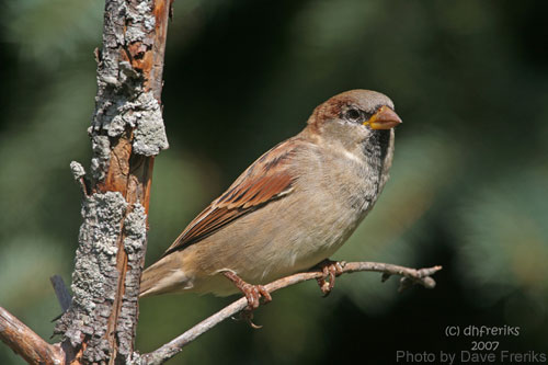 House Sparrow on a small branch