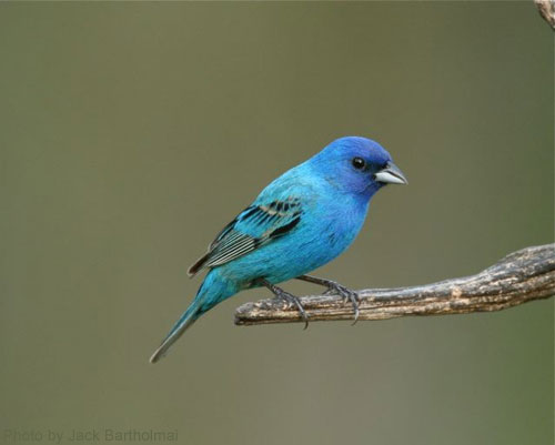 Indigo Bunting on the end of branch, looking quite blue-ish