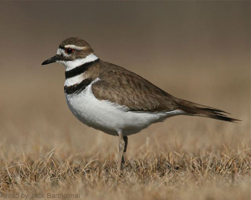 Close up of a killdeer in a field