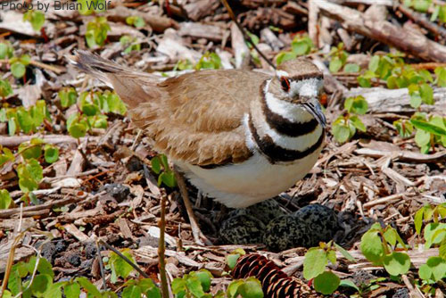 Looking down on a Killdeer foraging among the vegetation