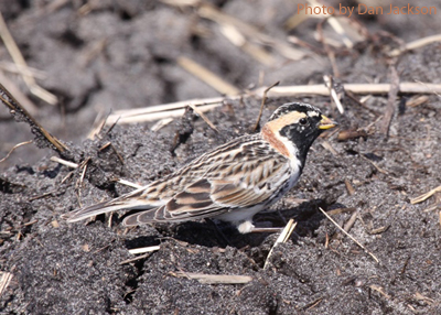 Male Lapland Longspur with summer plumage