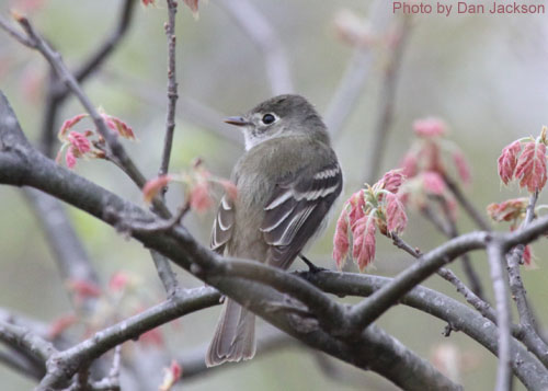 Least Flycatcher with early leaves