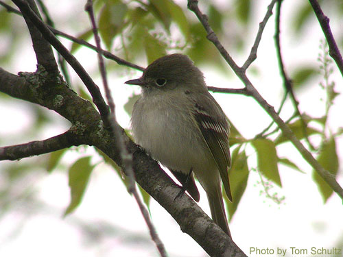Close up of a Least Flycatcher