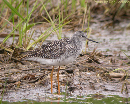 Lesser Yellowlegs at the pond edge