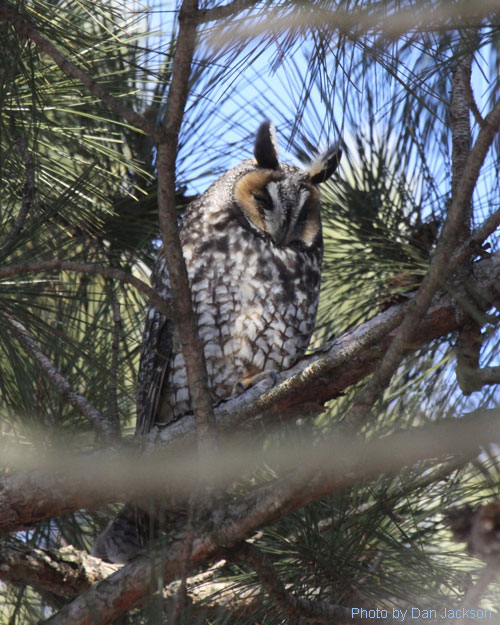 Long-eared owl hiding in a pine tree