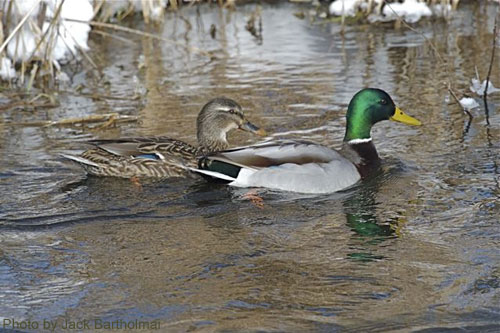 Mallard Pair in pond; notice snow along edge