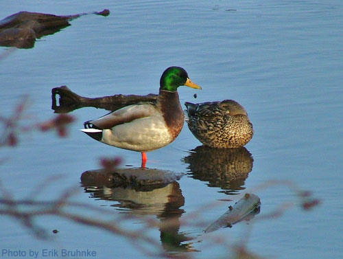 A Mallard Pair standing in shallow water along the pond edge