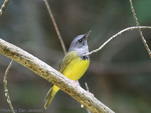 Mourning Warbler on a tree branch
