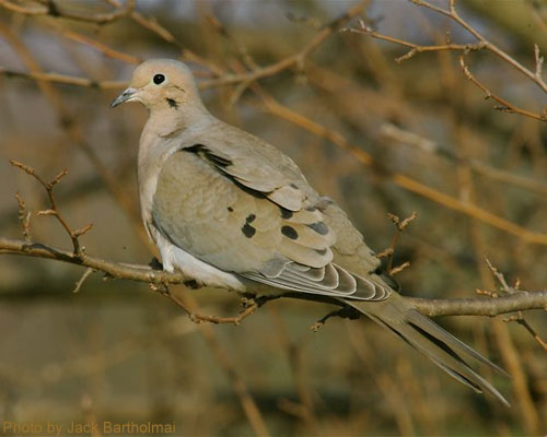 Profile of a Mourning Dove sitting in tree
