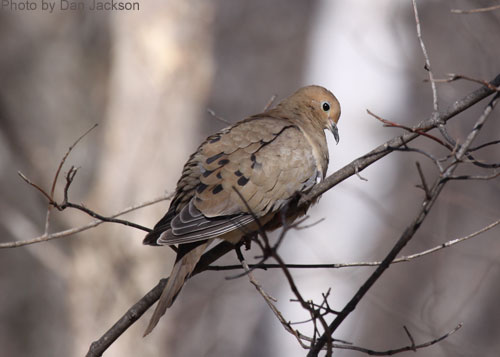Photo showing Mourning Dove tail feathers