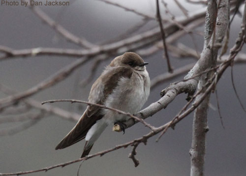 Northern Rough-winged Swallow on a tree branch