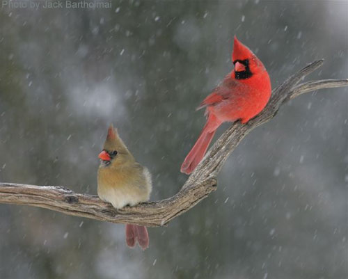 Male and Female cardinals on a branch during snow