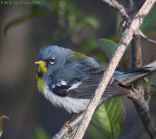 Close up of a Northern Parula