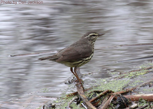 Northern Waterthrush standing at the water's edge