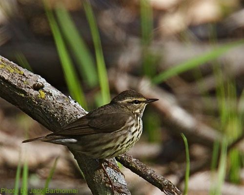 Northern Waterthrush posing on a branch