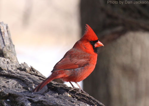 Norther Cardinal perched on a log