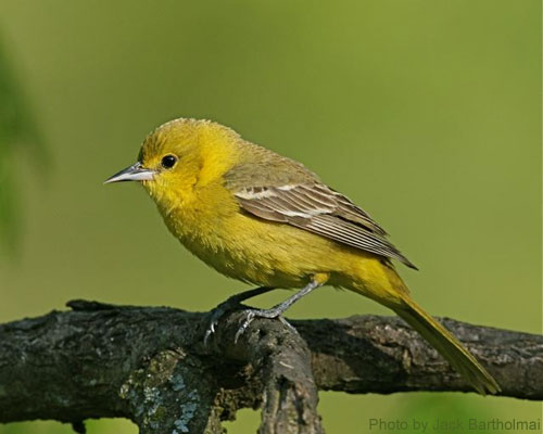 Female Orchard Oriole looking so dainty