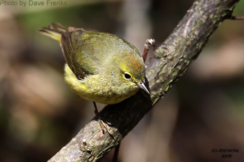 Orange-crowned warbler bowing to show the Orange crown