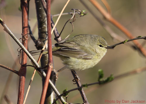 Orange-crowned Warbler on a vine