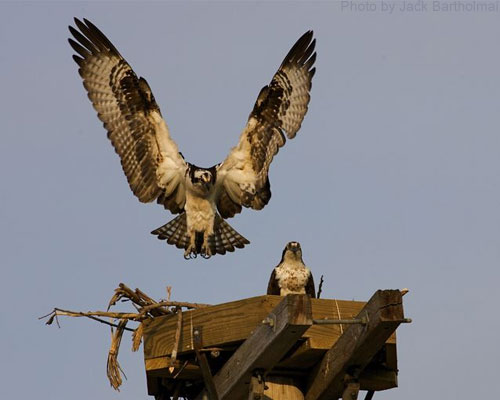 Ospreys in an artificial nest platform