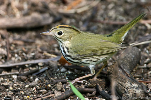 Ovenbird foraging on the ground
