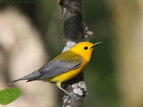 Prothonotary Warbler poses with its bright yellow color