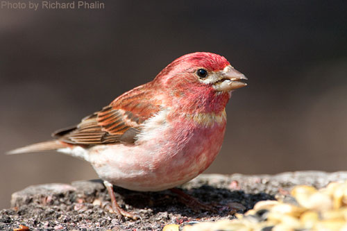 Purple Finch at a feeder
