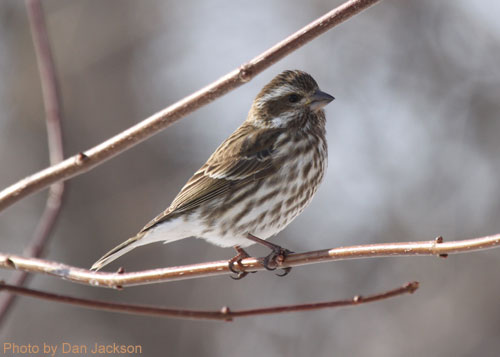 Female purple finch perched on a branch