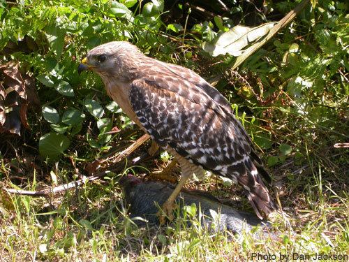 Red-shouldered hawk on ground among brush