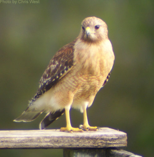Red-shouldered Hawk standing on wooden fence rail
