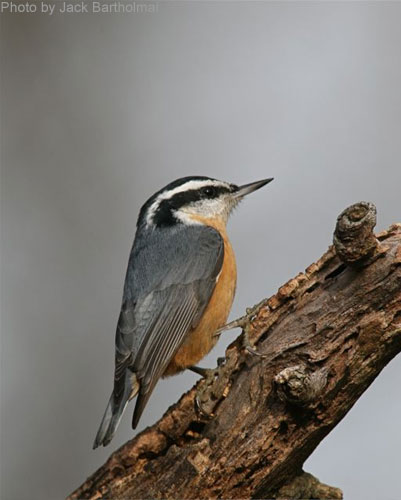 Red Breasted Nuthatch posing on a branch