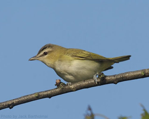 Red-eyed Vireo on branch with blue sky in the background