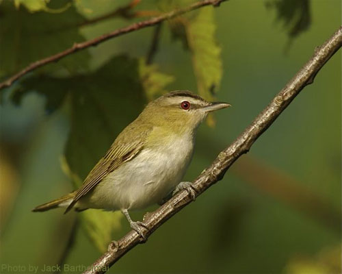 A close up of the red-eyed vireo