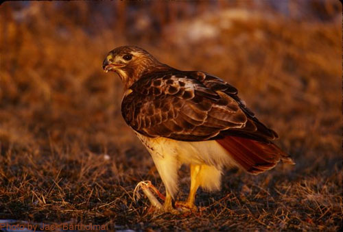 Red-tailed Hawk on ground, clearly showing red tail feathers