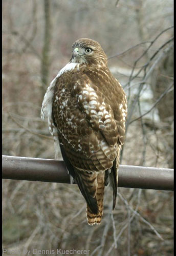 Juvenile Red-tailed Hawk perched on metal railing