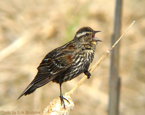 Young Red-winged Blackbird on a cattail