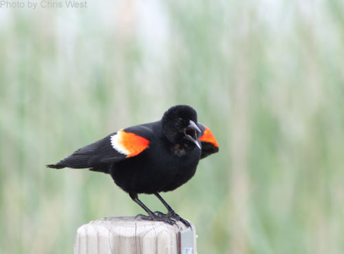 Red-winged Balckbird scolding the photographer from a post