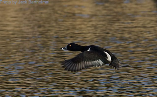 Male Ring-necked Duck in flight
