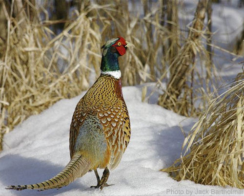 Male Ring-necked pheasant in winter
