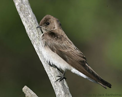 Close-up of a Northern Rough-winged Swallow